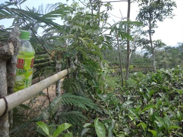 kebun teh nglinggo kulon progo (12)