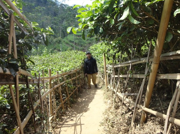 kebun teh nglinggo kulon progo (16)