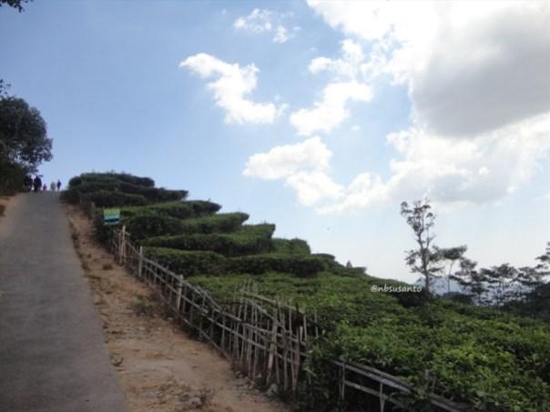 kebun teh nglinggo kulon progo (38)