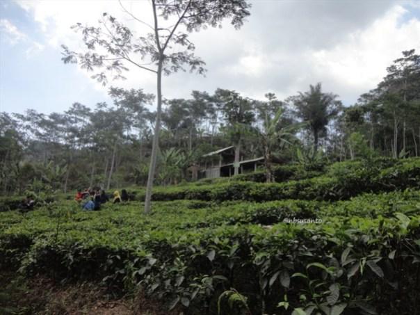 kebun teh nglinggo kulon progo (4)