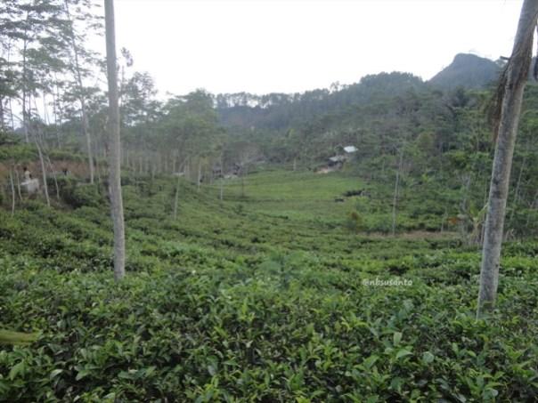 kebun teh nglinggo kulon progo (41)