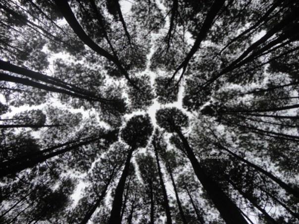hutan pinus mangunan yang ramai pengunjung (3)