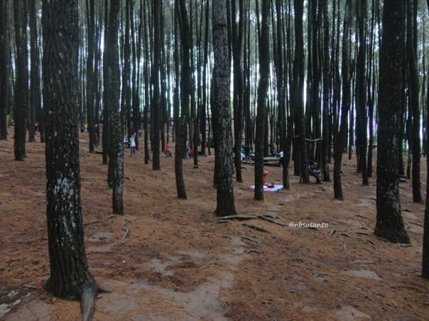 hutan pinus mangunan yang ramai pengunjung (5)